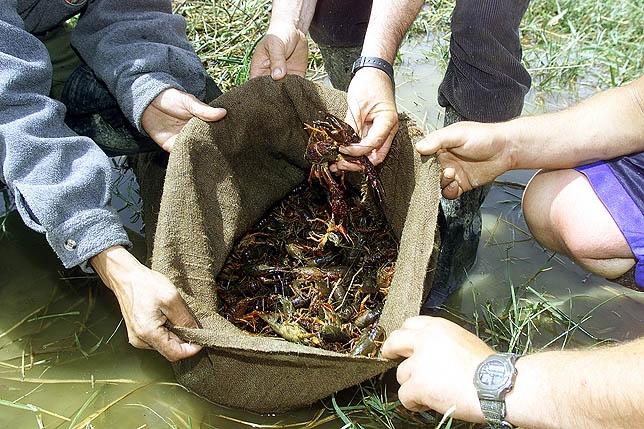 Imagen de archivo de un saco de cangrejos logrado en uno de los arroyos de Palencia. CÉSAR MANSO