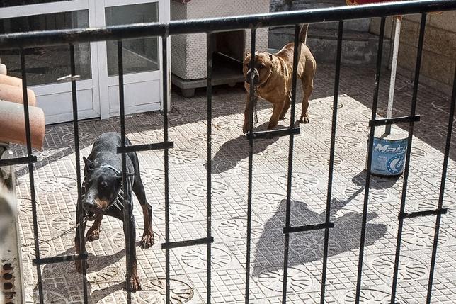 Dos perros con características que los introduce en la categoría de peligrosos Marina Palacios