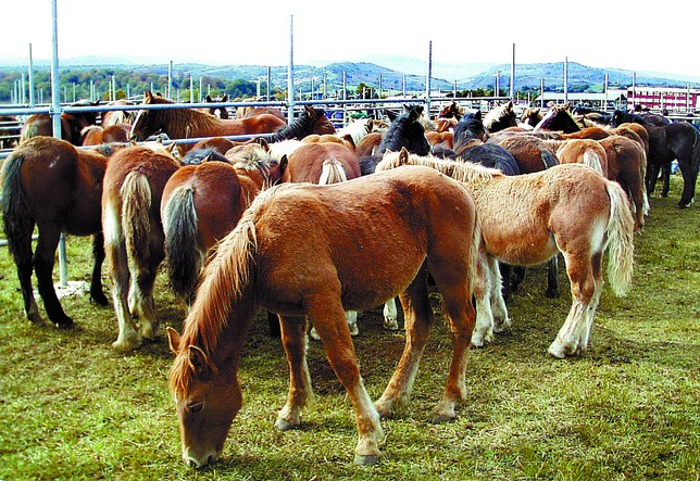 Los caballos hispano-bretones serán los protagonistas mañana en Soncillo. A.C.