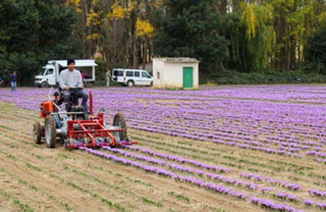 Tecnologia Para La Rosa Del Azafran La Tribuna De Albacete - Cultivo-azafran