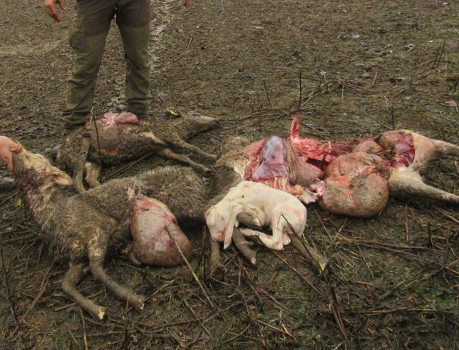 Imagen de animales muertos debido a los ataques de lobo producidos en la Montaña Palentina.  RUBÉN ABAD
