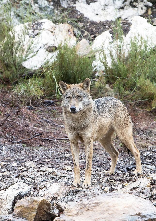 Un lobo hiere a un cuidador en el centro de Sanabria un día después de un sab...