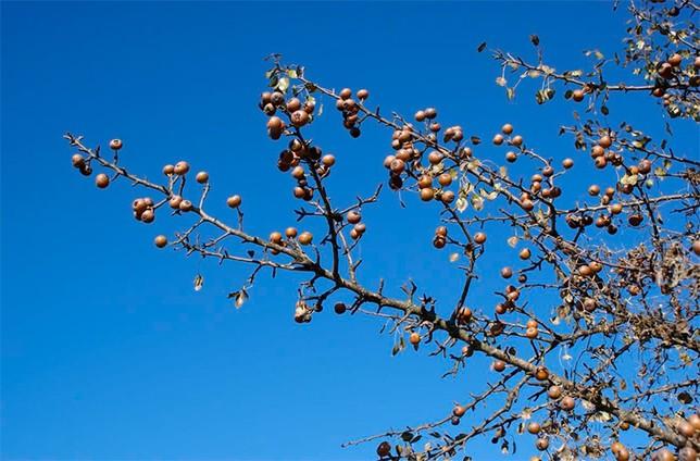 Ramas de piruétano en fruto, Parque Nacional de Doñana Foto: José M. Fedriani