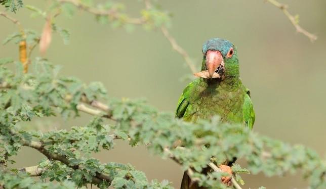 Diferentes especies de loros fueron estudiados en Bolivia / CISIC