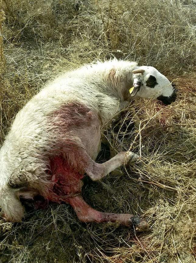 Achacan a los lobos la muerte de 14 ovejas en Oquillas