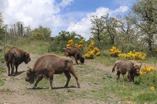 Aplazan los controles de saneamiento de los bisontes