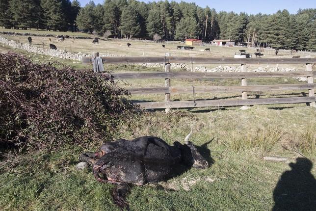 Conciliar ganadería extensiva con el lobo