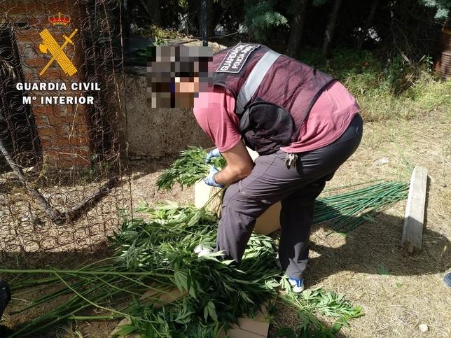 Descubierta una plantación de marihuana en El Tiemblo