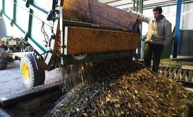La cosecha de aceituna en el Tiétar bajará a una tercera parte de lo recogido en 2013