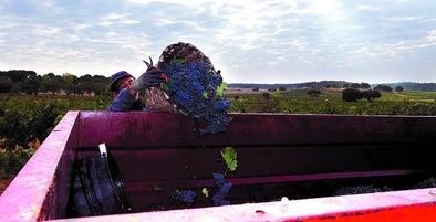 Ribera registra la mayor cosecha de su historia con 119 millones de kilos de uva