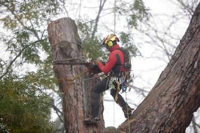 Medio Ambiente previene la caída de ramas en mal estado en los Jardines del Prado