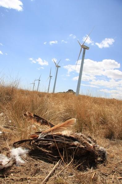 Denuncian ante el Seprona la elevada mortalidad de aves en parques eólicos