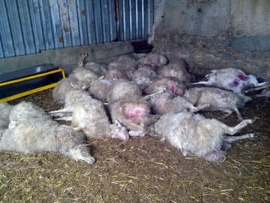 El ataque de un perro asilvestrado provoca la muerte de una treintena de ovejas en Medina de Rioseco