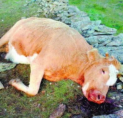 Los buitres matan a dos vacas y un ternero en una explotación de El Barraco