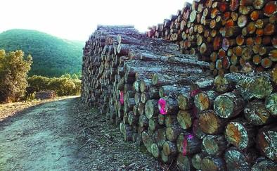 El clareo de San Juan permite extraer casi 800 toneladas de pino