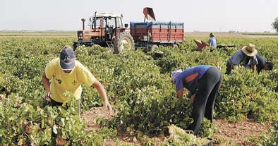 Vinartis pagará la uva DO Valdepeñas entre un 15% y 32%menos que en 2013