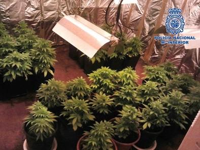 Desmantelada una plantación de marihuana en Talavera La Nueva