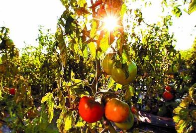El tomate de Miranda da el primer paso para conseguir una marca de garantía