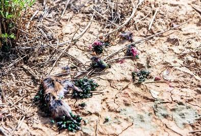 Asaja eleva a 80.000 las hectáreas afectadas por la plaga de topillos