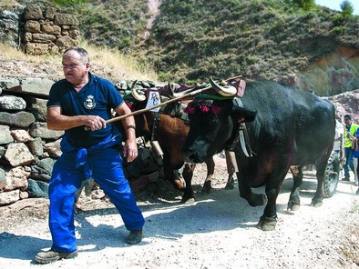 La vaca serrana, en peligro de extinción