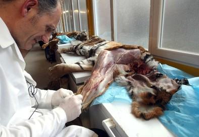 Un grupo de investigadores de Estados Unidos disecciona primates y carnívoros en el Museo Anatómico de la UVa
