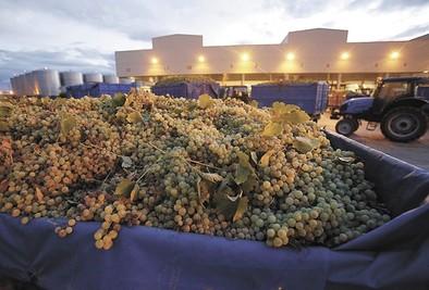 Virgen de las Viñas fija la recogida de uva entre el 10 y el 15 de agosto