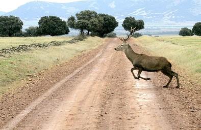 Sacan a subasta la venta de carne de 706 ciervos y 80 jabalíes a abatir