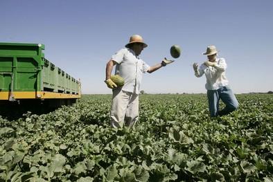 Los productores pronostican una siembra de melón y sandía «muy similar» a la de 2014