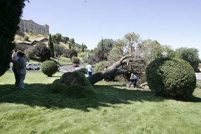 Cae sin causar daños un pino de ocho metros en la rotonda de la Reconquista