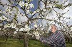Un año más los cerezos del valle de caderechas florecen dejando una bella estampa blanca