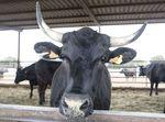 La carne de buey de Wagyu no para de apreciarse y la Finca Santa Rosalía nos cuenta sus nuevos proyectos