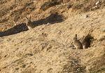 Una plaga de conejos está asolando la cosecha de cereal en la provincia