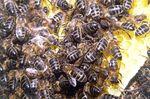 Más de 110 entidades nacionales e internacionales piden a la ministra Tejerina que apoye la prohibición de tres insecticidas peligrosos para las abejas