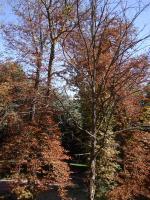 Al igual que le paso al árbol de San Vicente, creo que hay muchos árboles enfermos en San Antonio, no hay más que darse un paseo por el paseo de D.Carmelo y ver el aspecto desolador del parque. Creo que el concejal de parques y jardines debe de dar una explicación (que consulte con el BOTANICO MUNICIPAL). Las enfermedades más importantes que afectan al castaño están originadas por hongos (enfermedades criptogámicas). No solo son los castaños, hay pinos, platanos…..