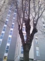 Aquí unos árboles que llevan años sin podar (según el concejal del Ayto.