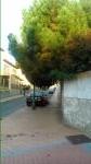 Este árbol se encuentra en la esquina que forman la calle Las Moradas y la calle Encarnación de Ávila. Se ruega al Ayuntamiento que realicen los trámites necesarios para que se poden los árboles, pues dificultan el paso por la acera y tapan completamente la farola, difucultando la visión por la noche. Gracias.