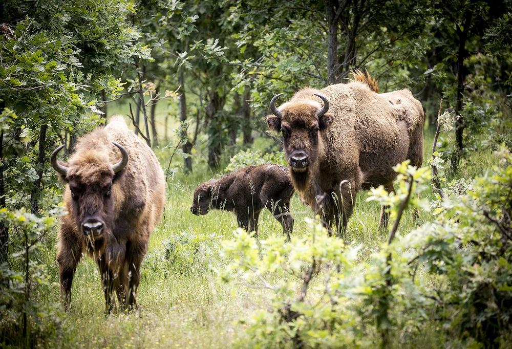 Un bisonte llamado Félix