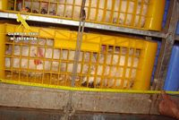 Interceptan un camión de animales excediendo un 20% la carga