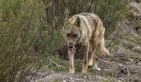 Imagen de un ejemplar de lobo campando por la Comunidad.