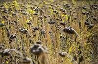 Imagen de un campo de girasoles afectados por la sequía.