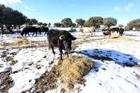 Vacas conectadas vía satélite