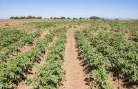Campo de cultivo de patatas en la provincia de Burgos.