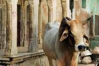 Matan a un hombre en la India por sacrificar una vaca