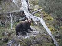 Seprona busca a un oso herido tras ser atropellado
