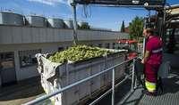 Vinícolas avanzan que en semanas habrá destilación de crisis