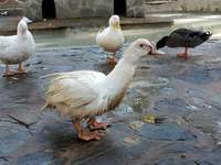 Piden al Ayuntamiento que quite los patos de los estanques