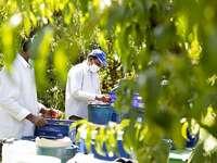 Un grupo de temporeros trabaja en la recogida de la fruta.