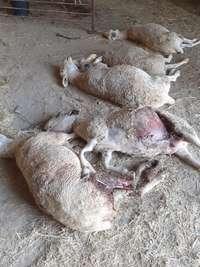 UCCL denuncia un «brutal» ataque de lobos a ovejas
