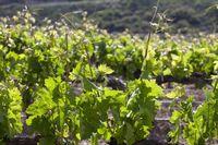 Ampliado hasta el 30 de junio el plazo para ayudas de viticultura