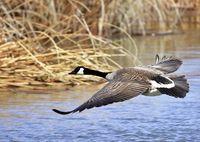 Un ganso canadiense sobrevolando un lago.